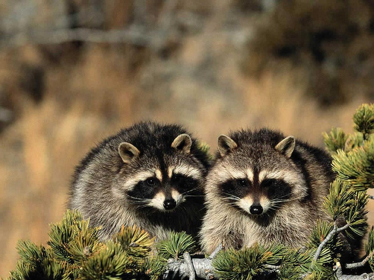 mapaches-salvajes