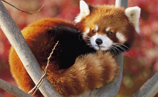 mozilla-adopta-dos-firefox-pandas-rojos