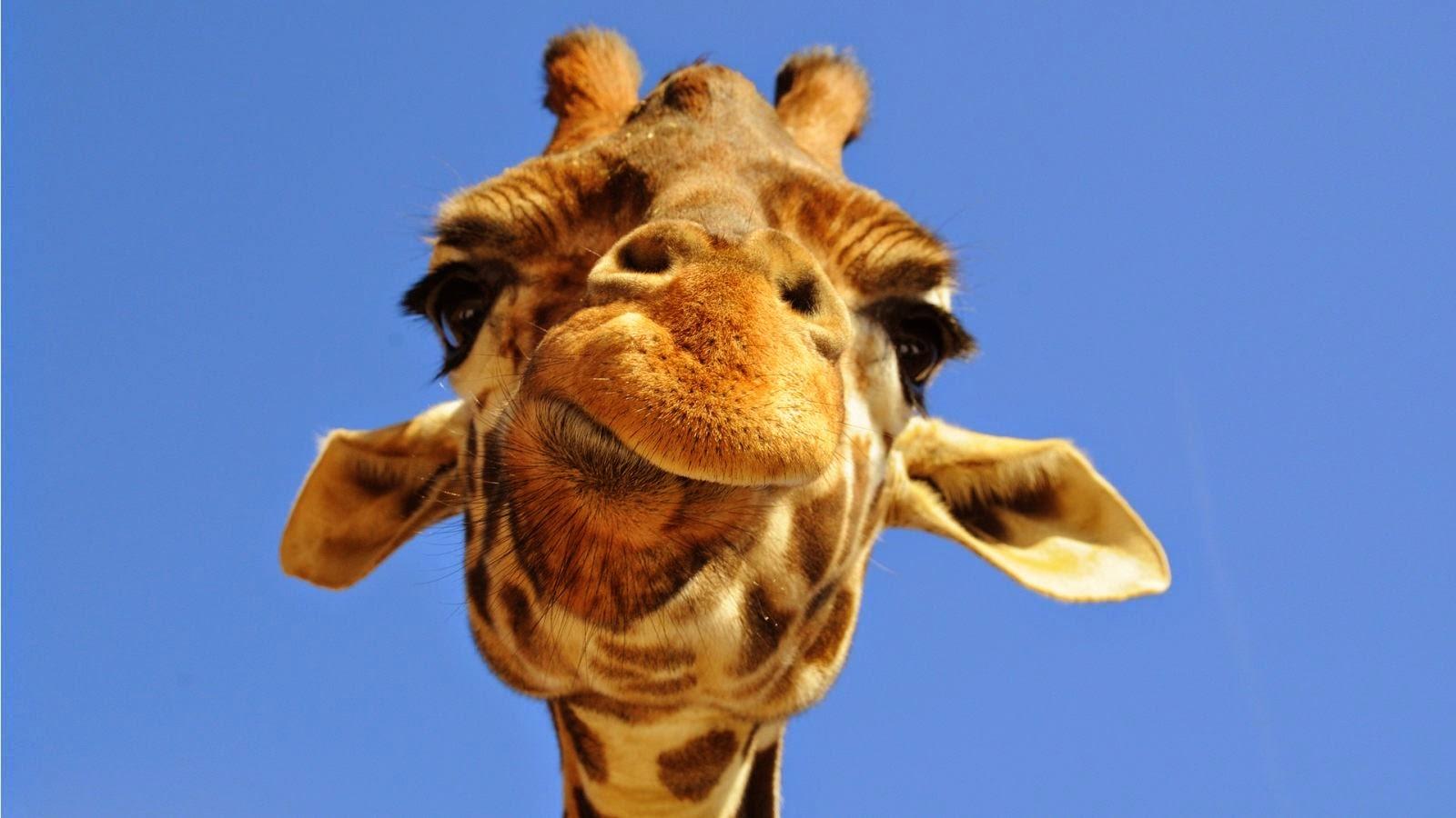 cabeza_jirafa