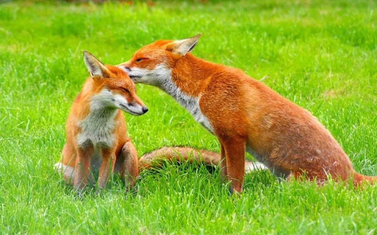 animales-zorros-padre-e-hijo