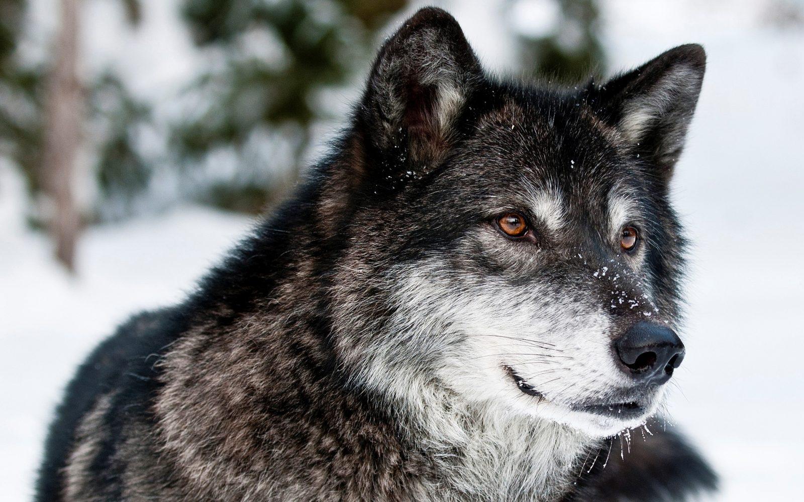 lobo-salvaje-negro