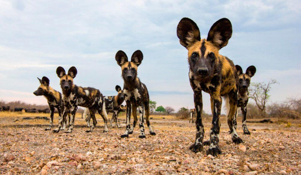 perros-salvajes-top-animales-mas-peligrosos-desierto