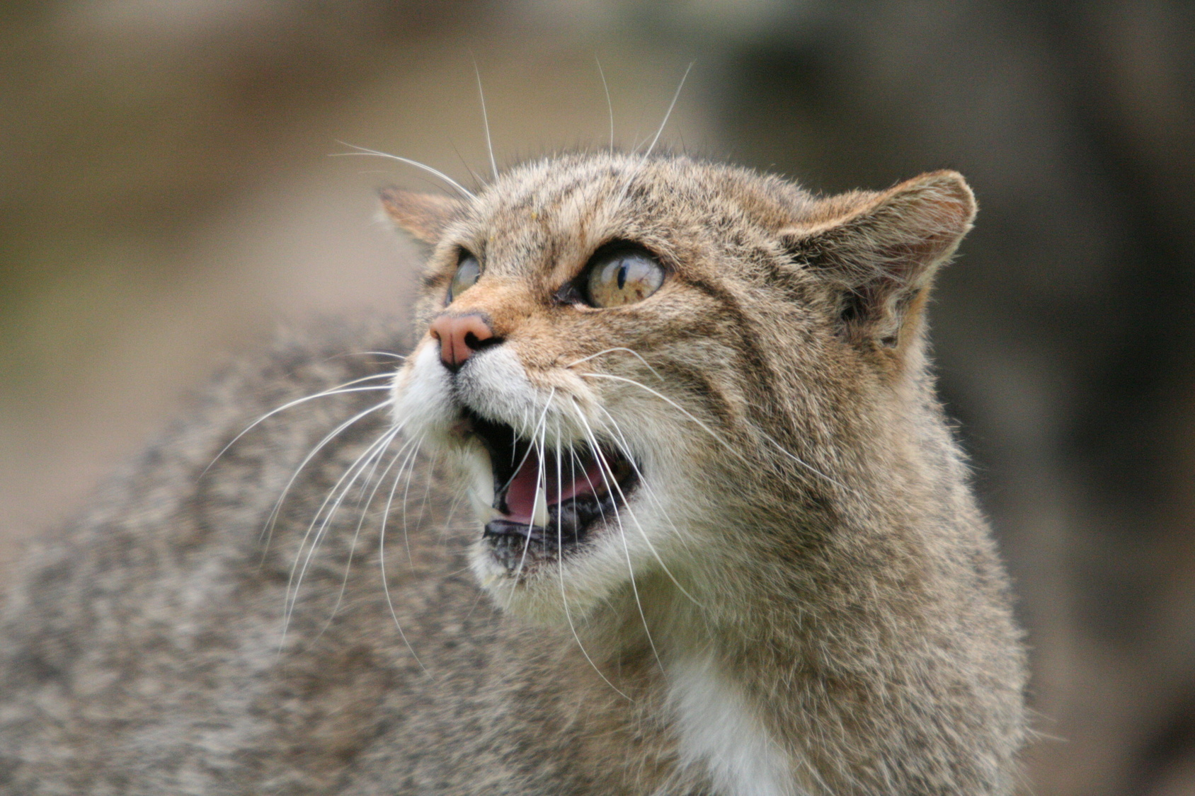 scottish_wildcat_4530848_by_stockproject1-d33ywfs