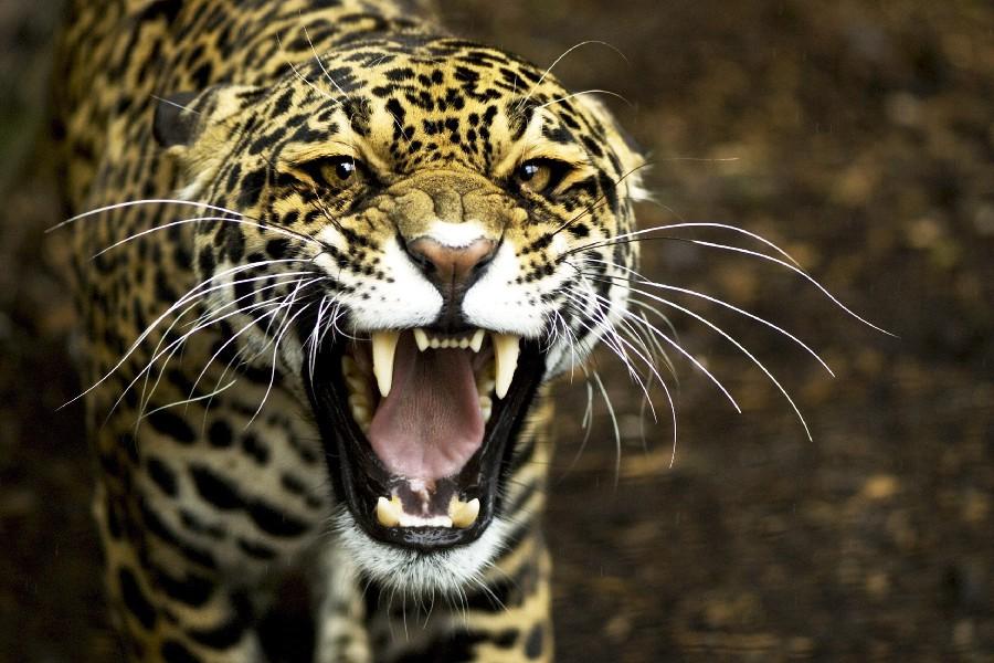 font-b-jaguar-b-font-leopard-font-b-face-b-font-teeth-aggression-roaring-animal