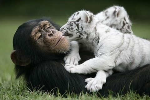 mono-y-tigre