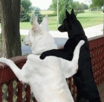 noirblanc-chiens-copains