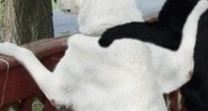 noirblanc-chiens-copains_295x158